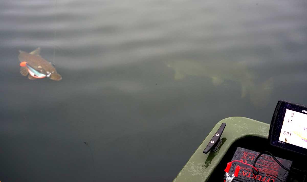 Nach einem harten Fehlbiss ist der Köder schnell wieder im Wasser. Prompt erfolgt der erneute Biss! Ein mittlerer Hecht konnte dem Slab Shad nicht widerstehen. Moment mal! Was ist das denn? Ein riesiger Hecht verfolgt den kleineren Artgenossen während des ganzen Drills. Der große Fisch will offenbar sein Revier behaupten. Gerade eben noch kann die Kamera den den abdrehende Riesen einfangen.