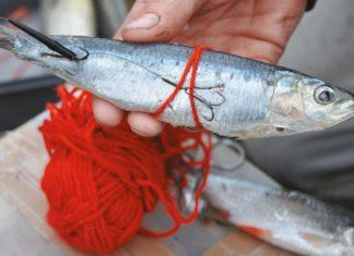 Mit etwas Wolle verhindert man, dass weiche Meeresfische wie diese Sadine vom Haken fallen. Das grelle Rot reizt die Hechte zusätzlich.