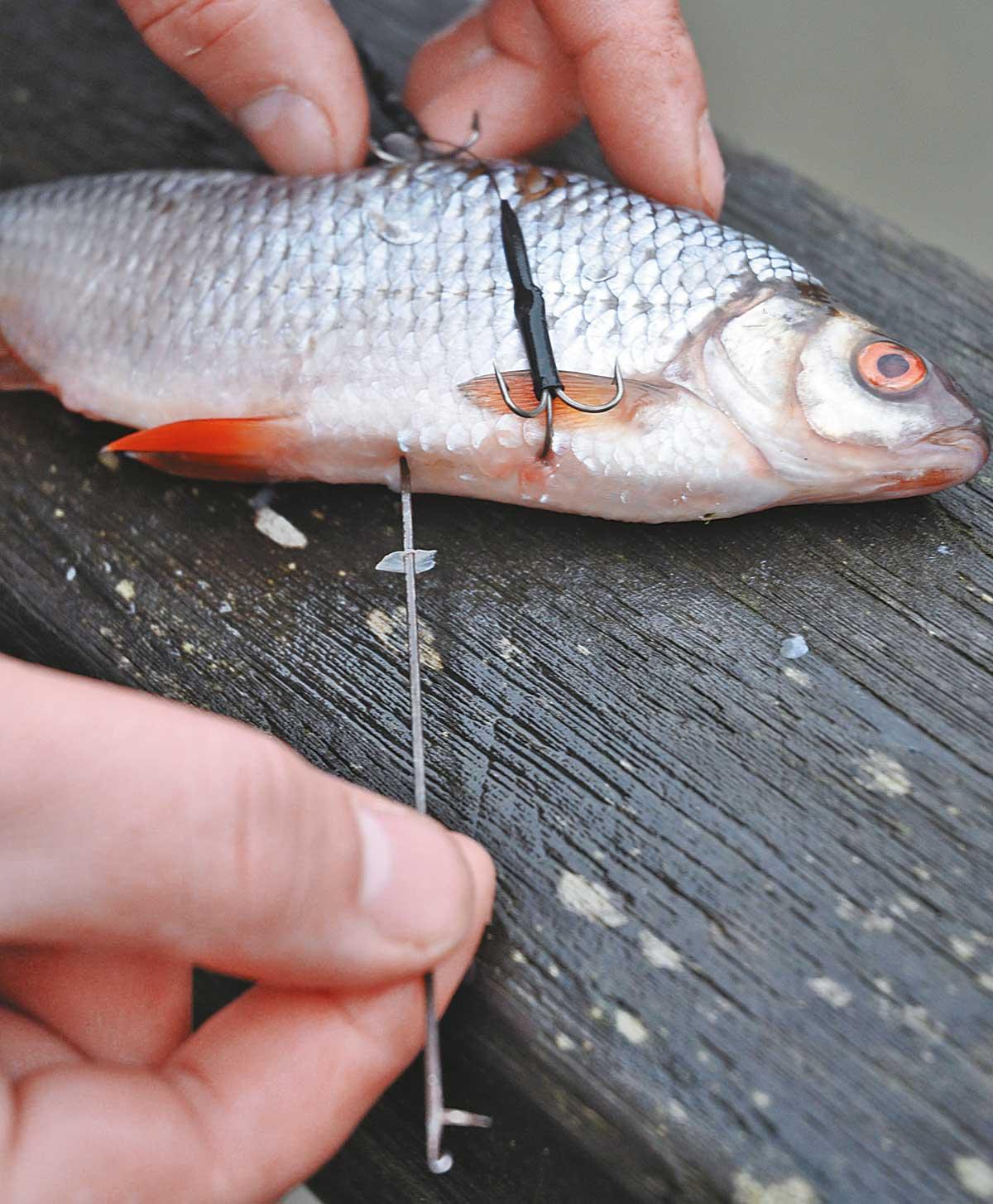 Beim Posenangeln wird die Schwimmblase des Köderfischs in der Regel durchstochen, damit er nicht unnatürlich durchs Wasser trudelt.