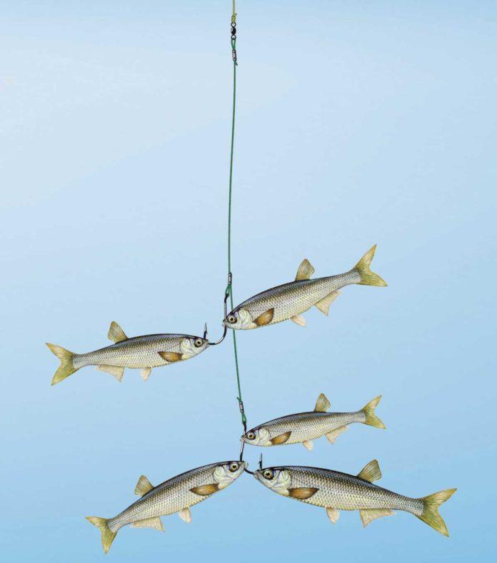 Die Schwarm-Montage aus einem Bündel toter kleiner Köderfischchen punktet vor allem dann, wenn sich die Raubfische auf Fischbrut eingeschossen haben. Zeichnung: U. Koch